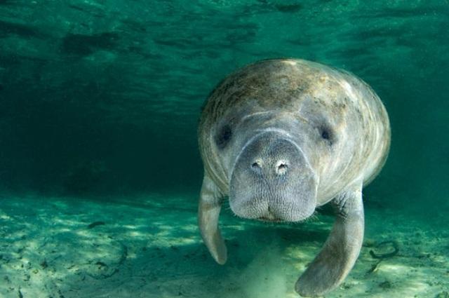 Cara berkembang biak dugong