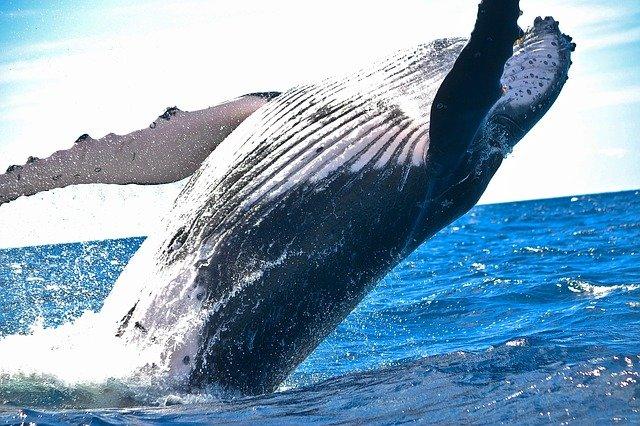 Cara berkembang biak paus