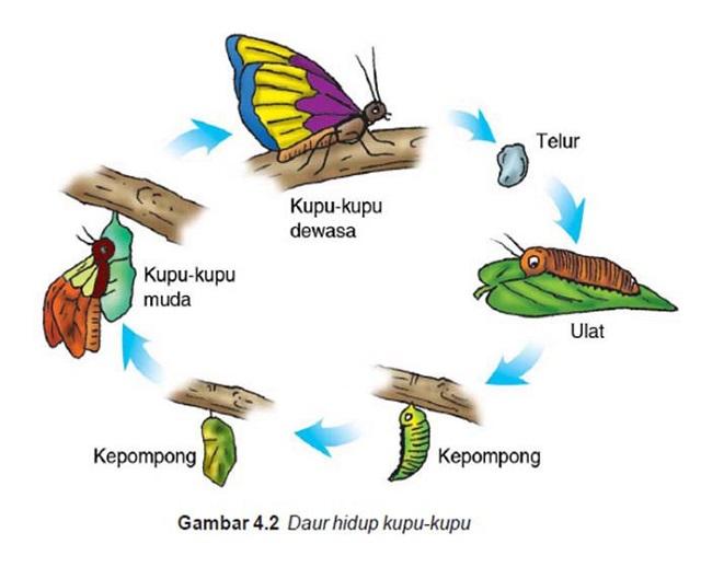 Gambar daur hidup kupu-kupu