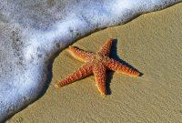 Bintang laut berkembang biak dengan cara