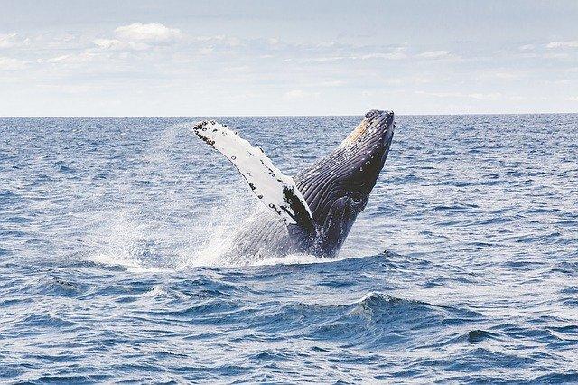 ikan paus berkembang biak dengan cara