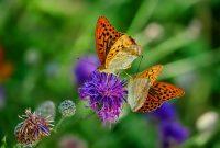 kupu kupu berkembang biak dengan cara