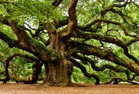 Pohon ek atau oak banyak di jumpai dan tumbuh dengan baik di negara