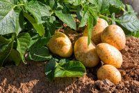 kentang berkembang biak dengan cara