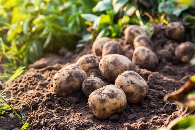 kentang berkembang biak dengan